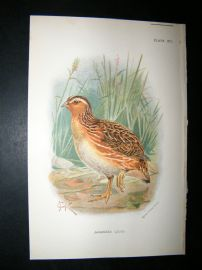 Allen 1890's Antique Bird Print. Japanese Quail Keulemans